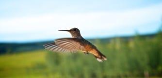 Colibris en vol Photographie stock libre de droits