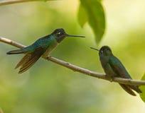 Colibris magnifiques au Panama photographie stock