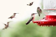colibris Rubis-throated images libres de droits