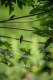 Colibris se reposant sur des branches de l'arbre, colibri de forêt tropicale tropicale, Pérou, être perché d'oiseau image libre de droits