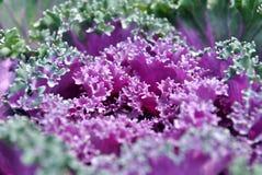 Coliflor de la violeta de la gota Imagen de archivo
