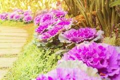 Coliflor púrpura que hace suavidad ligera Fotos de archivo libres de regalías