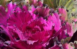 Coliflores ornamentales púrpuras Imagen de archivo libre de regalías