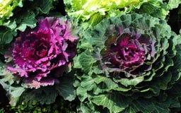 Coliflores púrpuras ornamentales Foto de archivo