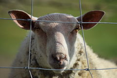 Colin овцы Стоковая Фотография RF
