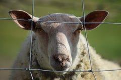 Colin las ovejas Fotografía de archivo libre de regalías