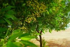 Colina cabris tree Australia