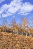 Colina con los árboles de abedul en colores del otoño, Inner Mongolia, China Foto de archivo