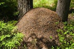 Colina de la hormiga en madera conífera Foto de archivo libre de regalías