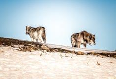 Colina de la subida de dos lobos fotografía de archivo