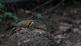 Colina de Lesser Necklaced Laughingthrush Feeding On