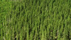Colina de los árboles de pino almacen de metraje de vídeo