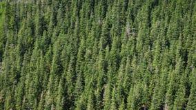 Colina de los ?rboles de pino en las monta?as boscosas almacen de video