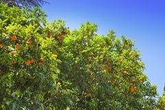 Colina de Palatine. Roma. Italia. Árboles anaranjados Fotos de archivo libres de regalías