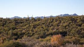 Colina de Saguaros Foto de archivo libre de regalías