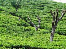 Colina en una plantación de té Fotos de archivo