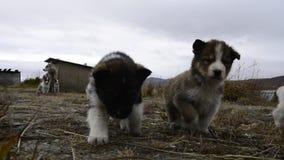 Colina fornida de Groenlandia de los perritos almacen de video