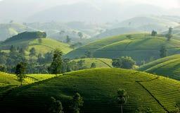 Colinas del té en la montaña larga de Coc fotos de archivo