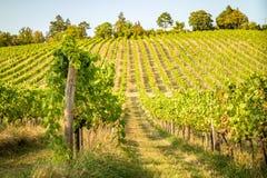 Colinas del viñedo en verano imagen de archivo