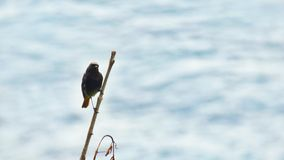 Colirrojo tizon Black redstart in a branch with the sea Royalty Free Stock Images
