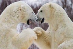 Colisão do punho do urso polar imagens de stock royalty free