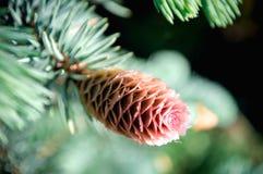 Colisões de Pinecone Foto de Stock