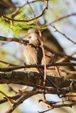 colius mousebird有斑点的striatus 免版税库存照片