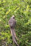colius mousebird有斑点的striatus 图库摄影