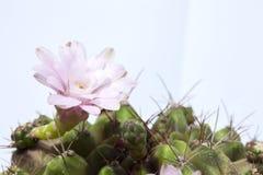 Collé sur un cactus image stock