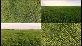 Collage Aerial flying over green corn field. Fly over a large field of corn. Green not reaching the corn shooting from.  stock footage