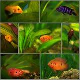 Collage: Afrikanischer Cichlid im Aquarium stockfotografie