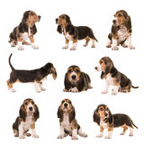 Collage with al kind of postures of basset artesien normand puppy dogs. On a white background Stock Images