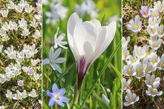 Collage - alpine white crocus Royalty Free Stock Photos