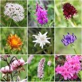 Collage alpino della flora Fotografia Stock