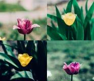 Collage amarillo rosado del tulip?n imagen de archivo