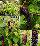Collage of American pokeweed plant in different Royalty Free Stock Image