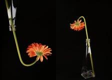 Collage anaranjado de la botella de los gerberas Imagen de archivo libre de regalías