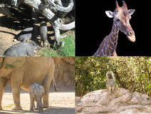 Collage animal Fotografía de archivo