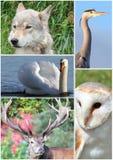Collage animale. Fotografia Stock Libera da Diritti