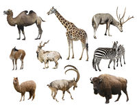 A collage of animals mammals artiodactyla. On a white background isolated royalty free stock photos