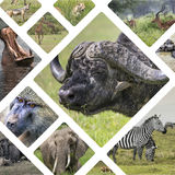 Collage of Animals from Tanzania - travel background (my photos) Royalty Free Stock Photo