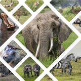 Collage of Animals from Tanzania - travel background (my photos) Royalty Free Stock Photos