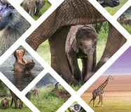 Collage of Animals from Tanzania - travel background (my photos) Royalty Free Stock Images