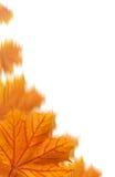 Collage arancione delle foglie di acero Fotografia Stock