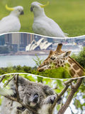 Collage of Australian animals images - travel background (my pho Royalty Free Stock Image