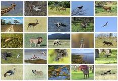 Collage av afrikanska djur Fotografering för Bildbyråer
