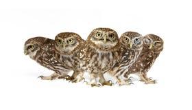 Collage av Athenenoctuaen för små ugglor på vit bakgrund royaltyfri fotografi