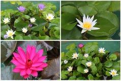 Collage av att blomma Lotus blommor arkivfoton