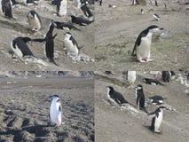Collage av chinstrappingvin i Antarktis Arkivbilder