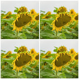 Collage av den organiska solrosnärbilden Härlig sommarfyrkantbakgrund på olika ämnen Royaltyfria Bilder